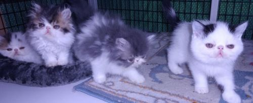 Persian Cats for sale in Salem, IN 47167, USA. price 500USD