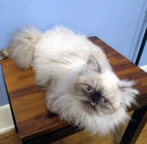 Persian Cats for sale in Council Bluffs, IA, USA. price 700USD