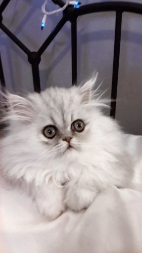 Persian Cats for sale in Gloucester, VA 23061, USA. price 1000USD