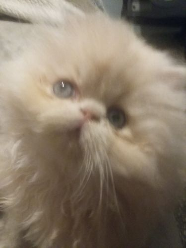 Persian Cats for sale in Albany, OR, USA. price 550USD