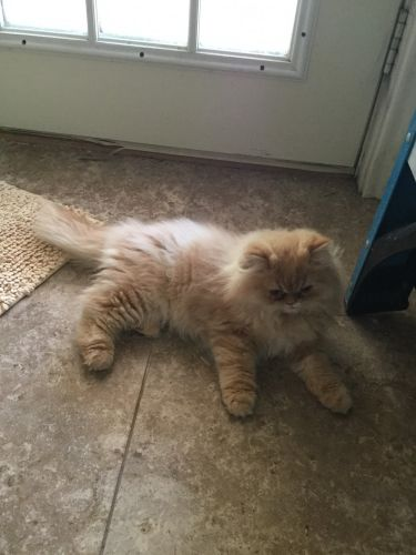 Persian Cats for sale in San Marcos, TX, USA. price -USD