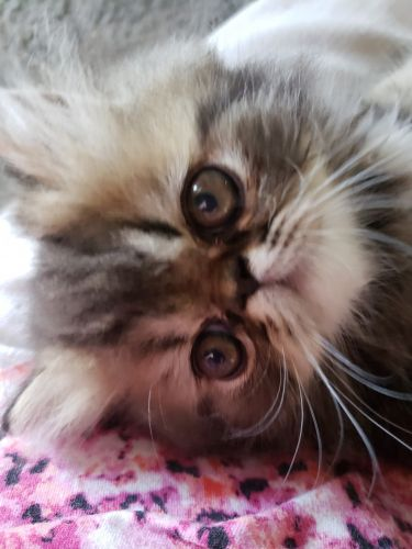 Persian Cats for sale in Williamsport, PA, USA. price 600USD