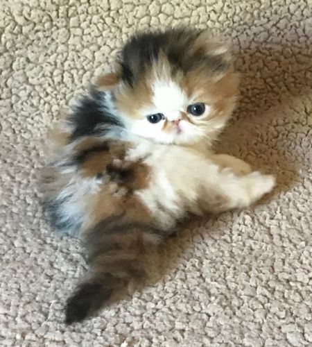 Persian Cats for sale in Annapolis, MD, USA. price 1800USD