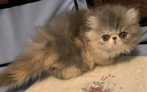 Persian Cats for sale in Portsmouth, VA, USA. price 1800USD