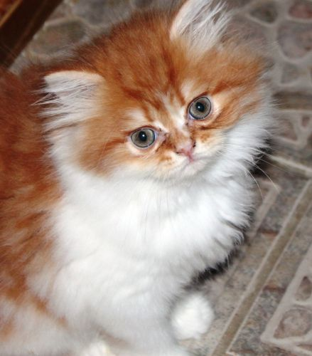 Persian Cats for sale in Gainesville, FL, USA. price 600USD