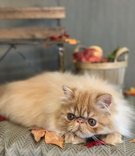Persian Cats for sale in Kansas City, MO, USA. price 900USD