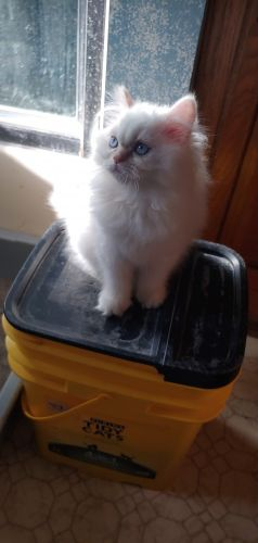 Persian Cats for sale in Sioux Falls, SD, USA. price -USD
