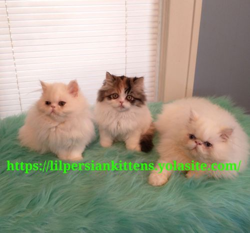 Persian Cats for sale in Omaha, NE, USA. price 800USD