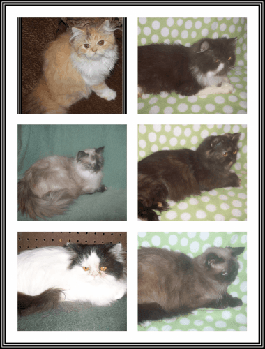 Persian Cats for sale in New Castle, DE 19720, USA. price 375USD