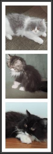 Persian Cats for sale in New Castle, DE 19720, USA. price 675USD