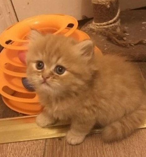 Persian Cats for sale in Clifton, NJ 07014, USA. price 400USD