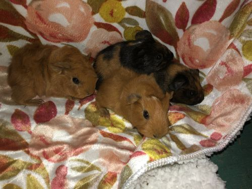 Peruvian Guinea Pig Rodents for sale in Kershaw, SC 29067, USA. price 15USD