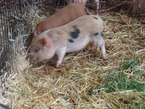Pig Animals for sale in Ruckersville, VA 22968, USA. price 400USD