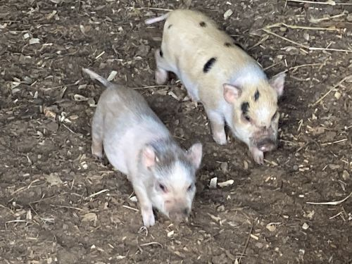 Pig Animals for sale in 256 Lake Cir, Carrollton, GA 30116, USA. price 150USD