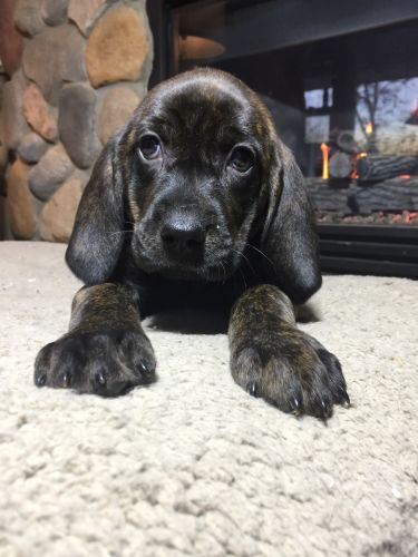 Plott Hound Puppies for sale in Knowlton, WI 54455, USA. price 250USD