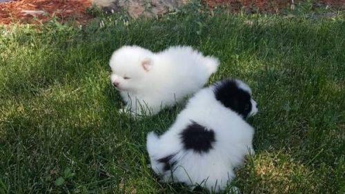 Pomeranian Sale Oklahoma Hooblyus