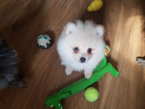 Pomeranian Sale San Diego County | Hoobly US