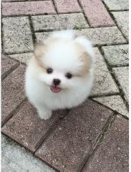 Pomeranian Sale Houston Hooblyus