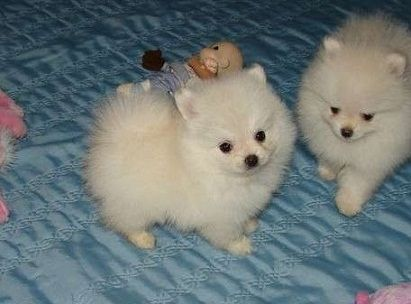 Pomeranian Puppies for sale in Wahpeton Indian School, Wahpeton, ND 58075, USA. price 300USD