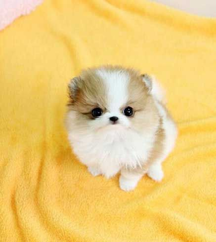 Pomeranian Puppies for sale in UT-34, St. George, UT, USA. price -USD
