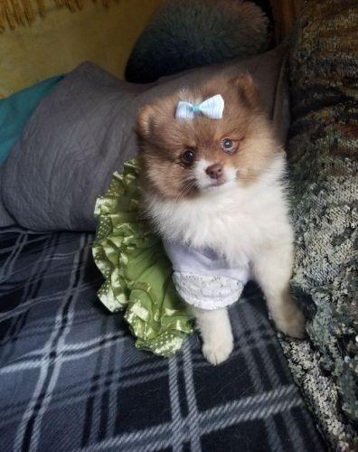 Pomeranian Puppies Sale | Houston, TX #5386 | Hoobly US
