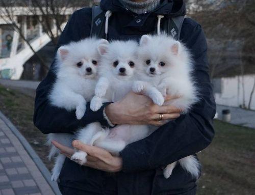 Pomeranian Puppies Sale   Miami, FL #1521   Hoobly US