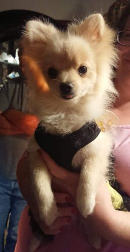 Pomeranian Puppies for sale in Brooks, OR 97305, USA. price 800USD