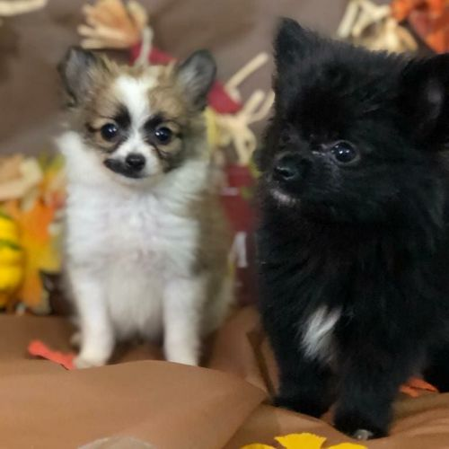 Pomeranian Puppies for sale in Blue Island, IL, USA. price 2000USD