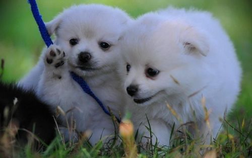Pomeranian Puppies for sale in Los Angeles County, CA, USA. price 450USD