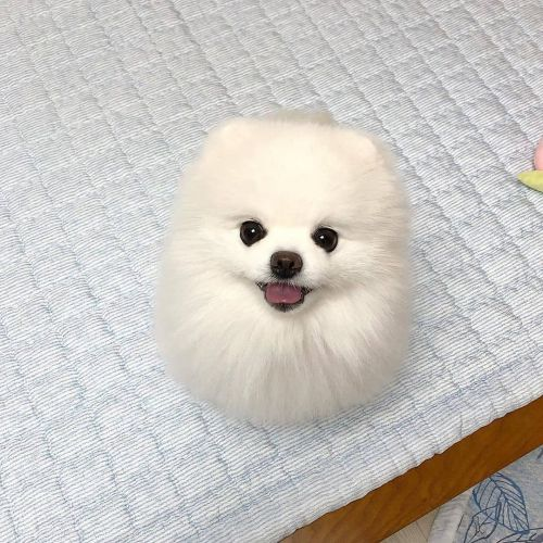 Pomeranian Puppies for sale in Houston, TX, USA. price 1200USD