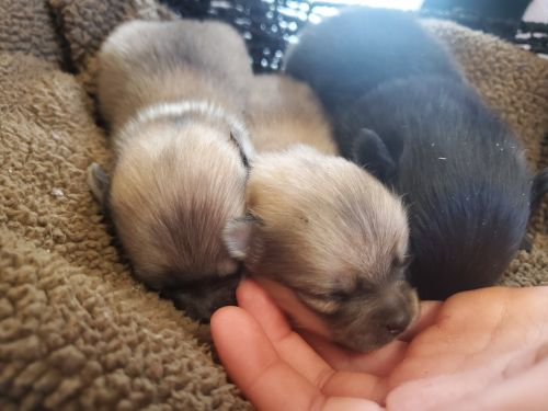 Pomeranian Puppies for sale in 17828 180th Ave, Le Roy, MI 49655, USA. price 450USD