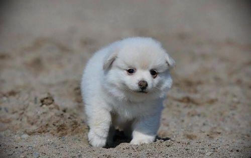 Pomeranian Puppies for sale in Dallas, TX, USA. price 500USD