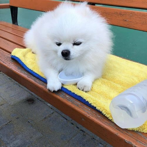 Pomeranian Puppies for sale in Dallas, TX, USA. price 800USD