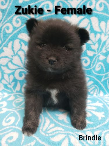 Pomeranian Puppies for sale in 200 Market St, Lebanon, OR 97355, USA. price 1500USD