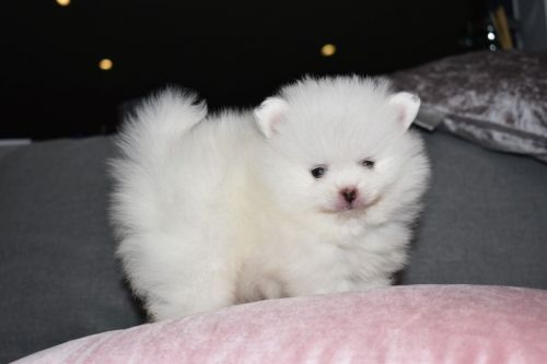 Pomeranian Puppies for sale in Los Angeles, CA, USA. price 600USD