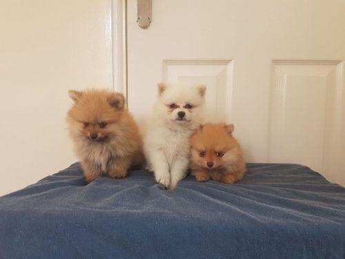Pomeranian Sale Miami   Hoobly US