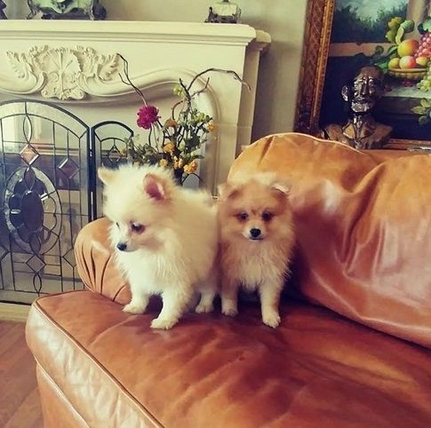 Pomeranian Sale Dallas | Hoobly US