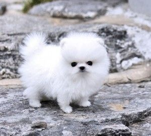 Pomeranian Puppies for sale in Bozeman, MT 59715, USA. price -USD