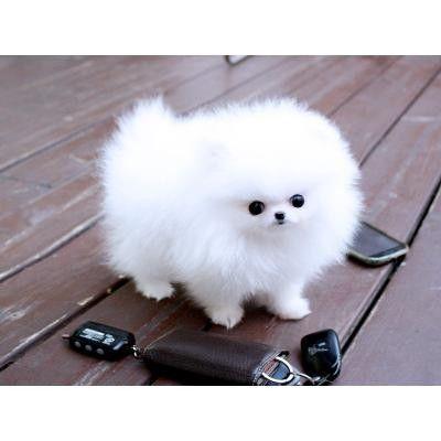 Pomeranian Puppies for sale in Bozeman, MT 59715, USA. price 450USD