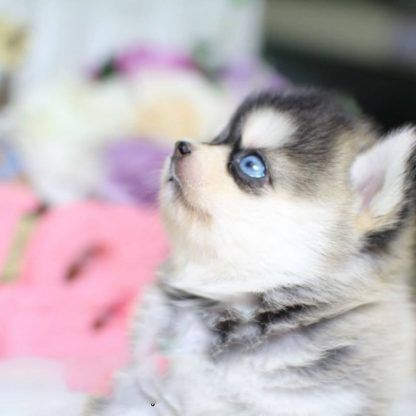 Pomsky Puppies for sale in Mutual, OK 73853, USA. price 500USD