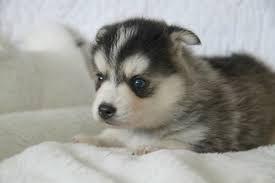 Pomsky Puppies for sale in Boston, MA, USA. price -USD