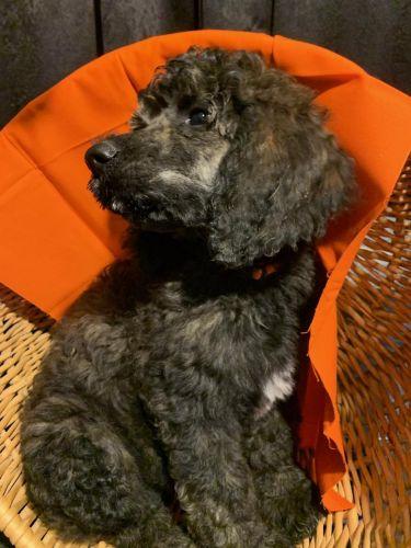 Pomeranian Puppies Sale | Houston, TX #3897 | Hoobly US
