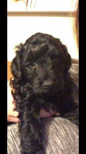 Poodle Puppies for sale in Phoenix, AZ, USA. price -USD