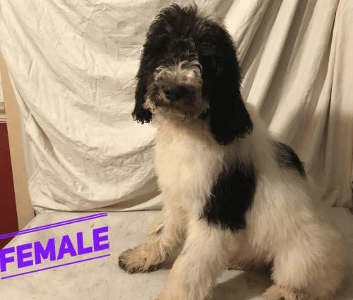 Poodle Puppies for sale in Abbeville, LA 70510, USA. price -USD