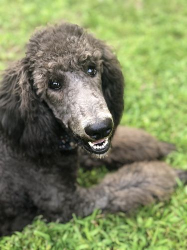Poodle Puppies for sale in Letart, WV 25253, USA. price 400USD
