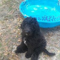 Poodle Puppies for sale in Old Town, FL 32680, USA. price 1200USD