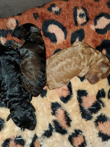 Poodle Puppies for sale in Dallas, TX, USA. price 650USD