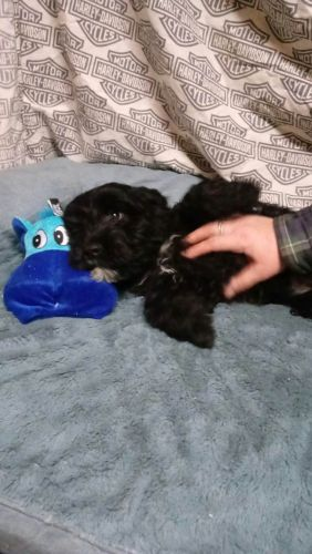 Portuguese Water Dog Puppies for sale in Fowlerville, MI 48836, USA. price 1500USD