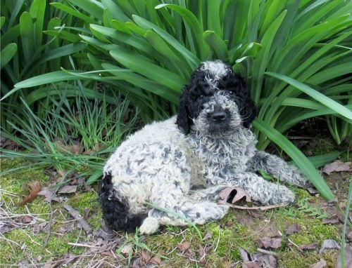 Portuguese Water Dog Puppies for sale in Seattle, WA, USA. price 300USD
