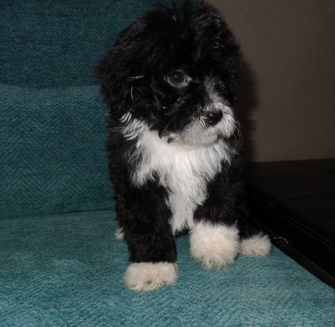 Portuguese Water Dog Puppies for sale in Chinatown, Los Angeles, CA, USA. price 600USD